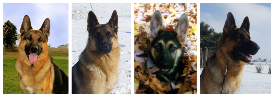 Four Arcturus German Shepherd Dogs